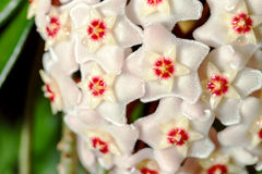 Hoya carnosa. potted plant close up view stock images