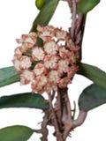 Hoya finlaysonii het bloeien Royalty-vrije Stock Foto's