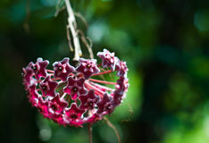 Hoya flower. Beautiful flower with bokeh background Royalty Free Stock Photos
