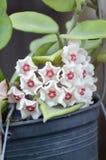 Hoya flower Stock Photos