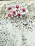 Hoya flower blossoms on the concret. royalty free stock images