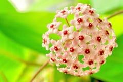 Hoya. Flower , Hoya flowers royalty free stock image