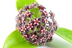 Hoya flower Stock Photo