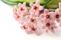 Hoya flowers Stock Photography