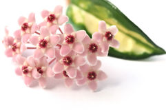 Hoya flowers Stock Images