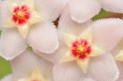 Hoya Flowers. Hoya (Hoya carnosa) flowers macro Stock Photos