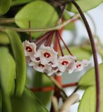 Hoya Flowers_2. Delicate pink flowers Hoya (wax ivy) among green leaves royalty free stock photography