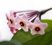 Hoya Flowers. Delicate pink flowers Hoya, wax ivy, among green leaves royalty free stock photos