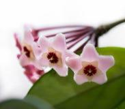Hoya Flowers Royalty Free Stock Photos