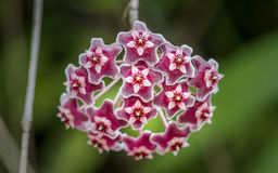 Hoya. Flowers are flowers that are shaped like a five-pointed star as a cluster Stock Image
