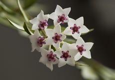 Hoya. Flowers of hoya grown in the room stock images