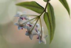 Hoya. Flowers of hoya grown in the room stock image