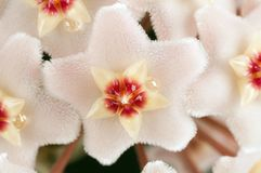 Hoya flowers macro Royalty Free Stock Image