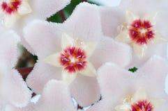 Hoya flowers macro Stock Image