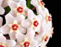 Hoya flowers macro royalty free stock images