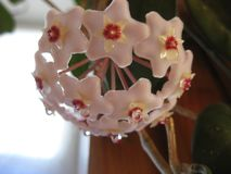 Hoya flowers are small and collected in small bouquets - very nice look in any interior. Hoya, or wax ivy, blooms small white flowers collected in umbrellas stock photo
