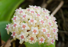 Hoya flowers. Wild orchid in Thailand Royalty Free Stock Photo