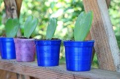Hoya heart green on pot Royalty Free Stock Images