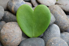 Hoya heart tree on the rock Royalty Free Stock Photography