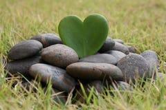 Hoya heart tree on the rock Stock Photo