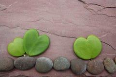 Hoya heart tree on the rock Royalty Free Stock Photography