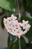 Hoya (Hoya carnosa) flower cluster. A Hoya Plant or wax plant. Flowers look like shooting stars. The blossom appear on a vine with few leaves. The plant has Royalty Free Stock Photos