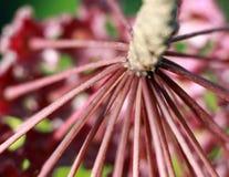 Hoya Imperialis Bloem stock afbeelding