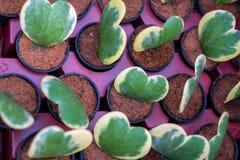Hoya Kerri Alba e albomarginata, bella pianta verde immagini stock libere da diritti