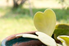 Hoya kerrii Craib w garnka sercu kształtował rośliny, sympatia Hoya zdjęcia stock