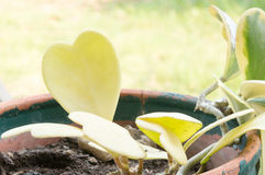 Hoya kerrii Craib w garnku, sympatia Hoya (serce kształtująca roślina) obraz stock