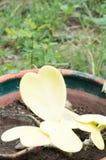 Hoya kerrii Craib w garnku, sympatia Hoya (serce kształtująca roślina) obrazy stock