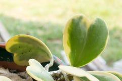 Hoya kerrii Craib w garnku, sympatia Hoya (serce kształtująca roślina) obrazy royalty free
