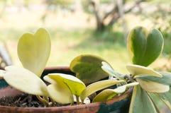 Hoya kerrii Craib w garnku, sympatia Hoya (serce kształtująca roślina) zdjęcie royalty free