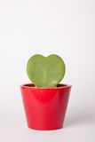 Hoya kerrii w czerwonej wazie obraz royalty free