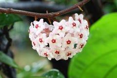Hoya kwiat obraz royalty free
