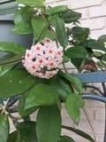 Hoya kwiat Zdjęcia Stock