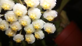 Hoya Lacunosa close up. Hoya lacunosa close houseplant delicate wax flower yellow white royalty free stock photography