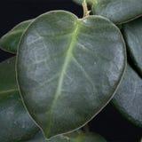 Hoya leaf. A leaf of a Hoya plant stock photo