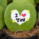 Hoya leaves the heart found in the rain forests around the count Royalty Free Stock Photography
