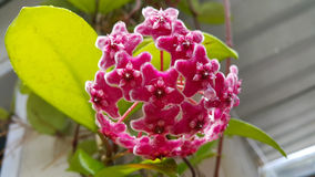 Hoya orchid. In garden. the flower are star-shaped Royalty Free Stock Photography