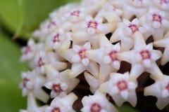 Hoya parasiticablommor Arkivfoton