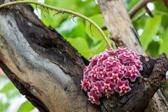 Hoya plant flower Royalty Free Stock Images