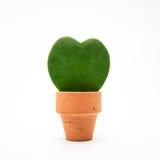 Hoya plant Royalty Free Stock Images