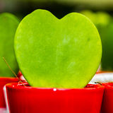 Hoya Plant in a red pot Stock Image