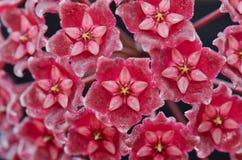 Hoya Pubicalyx Royalty Free Stock Image