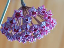 Hoya pubicalyx the inflorescence before opening. Close up royalty free stock images