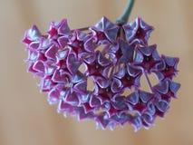 Hoya pubicalyx inflorescencen för öppning royaltyfri bild