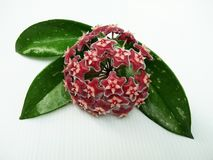 Hoya pubicalyx Pink silver flower and green leaves. Hoya pubicalyx Pink silver, Porcelain flower, Wax plant, deep dark purple flower with red centers, green royalty free stock photo