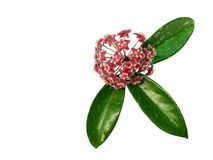 Hoya pubicalyx Pink silver flower and green leaves isolated white background royalty free stock image