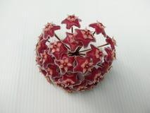 Hoya pubicalyx Roze zilveren bloem stock afbeeldingen